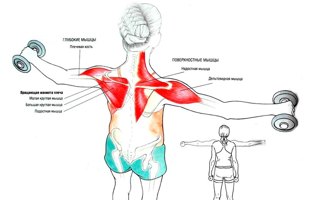 Разведение рук с гантелями стоя помогает проработать глубокие и поверхностные мышцы