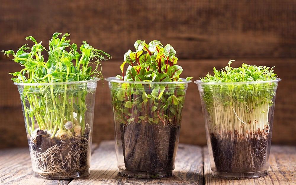 Проростки и микрозелень: отличия