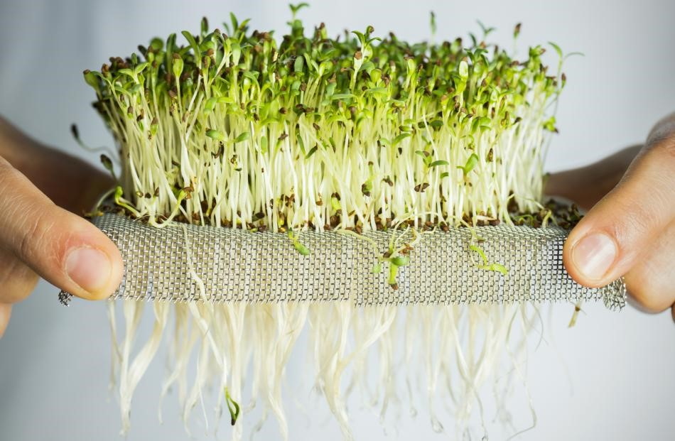 Как вырастить микрогрин и проростки?