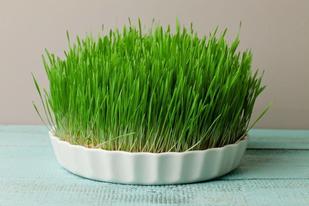 Микрогрин пшеницы