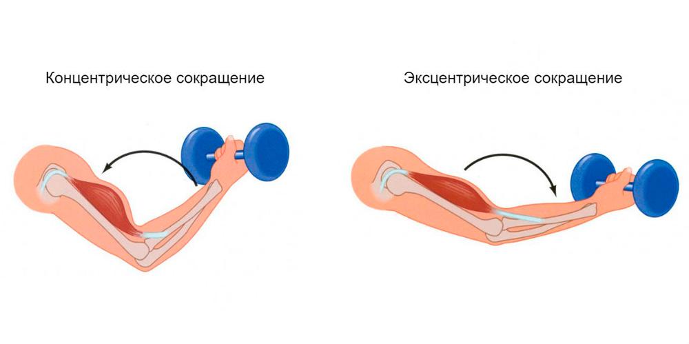 Виды сокращения мышц