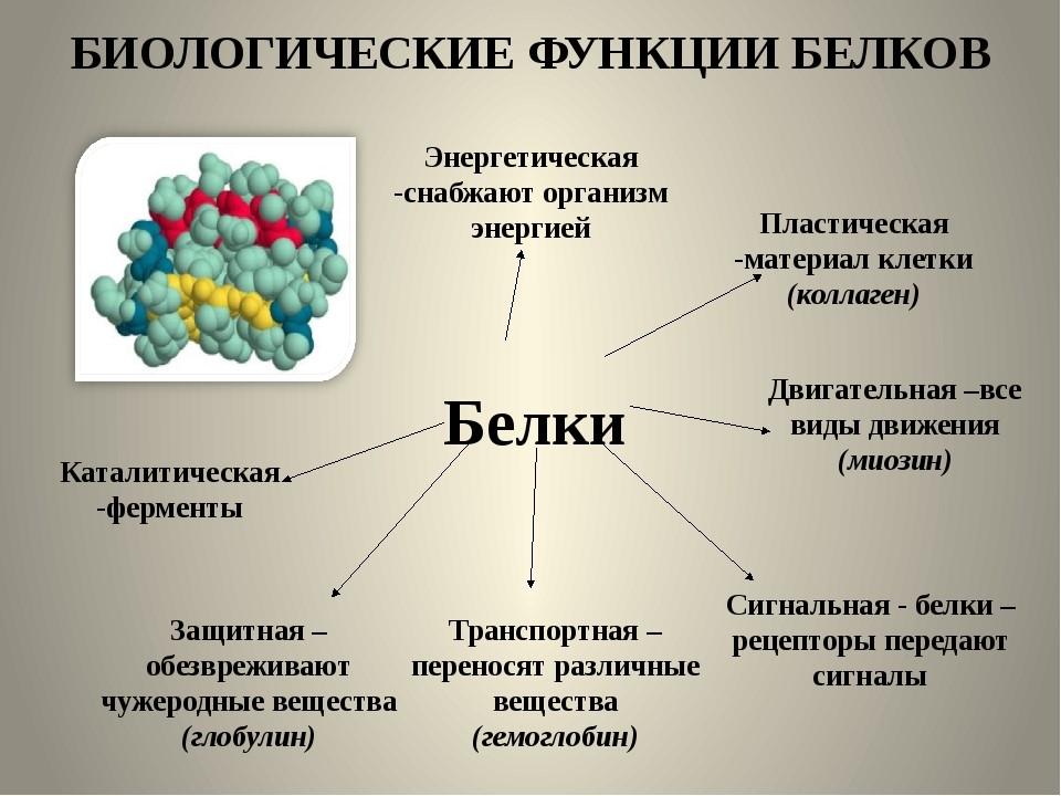 Значение и функции белков в организме человека