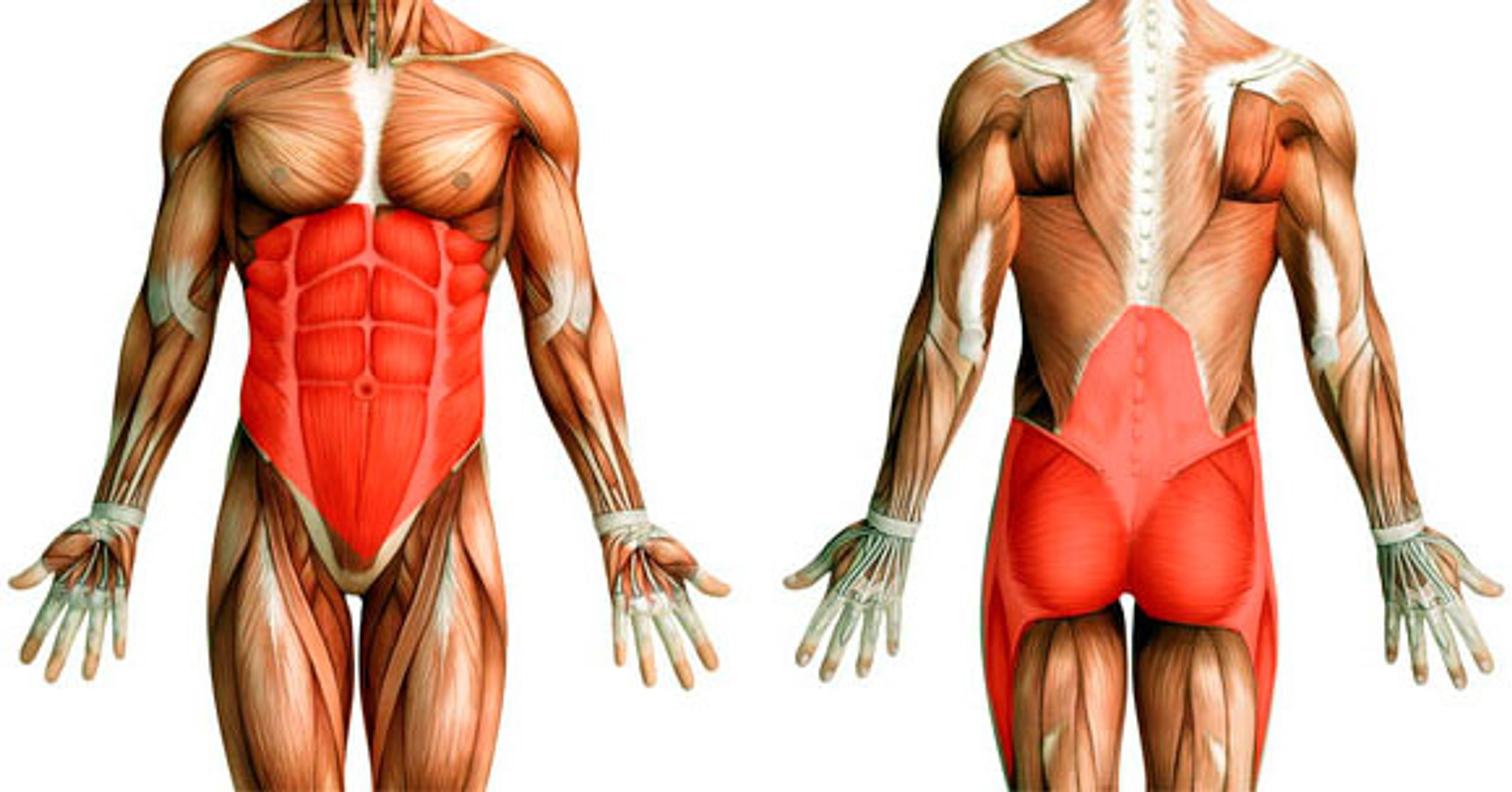 Расположение мышц кора