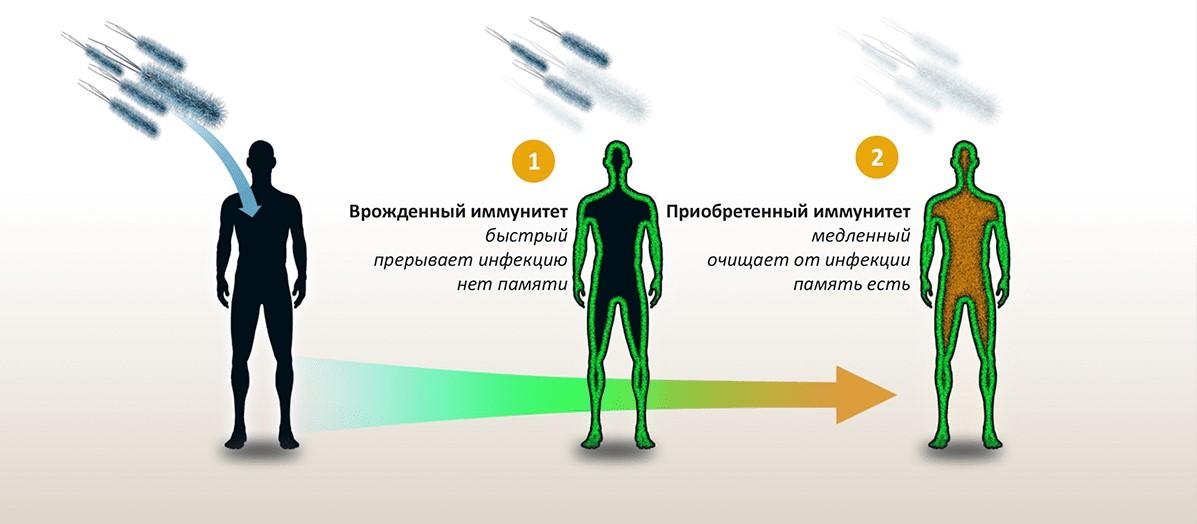 Отличия и особенности врожденного и адаптивного иммунитета