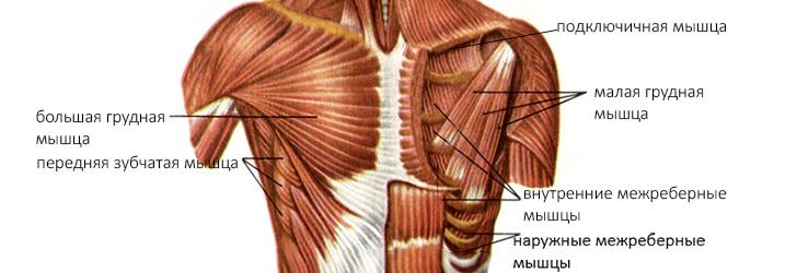 строение груди